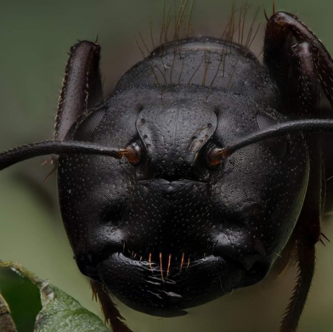 ant pest control, New Lenox, Homer Glen, Joliet, Frankfort, IL, Sentry Pest Control