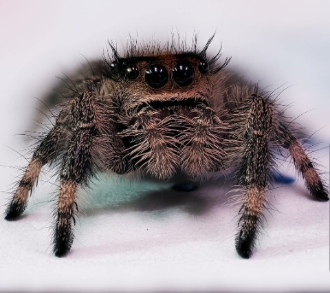 spider pest control serving New Lenox, Homer Glen, Joliet, and Frankfurt areas, Sentry Pest Solutions